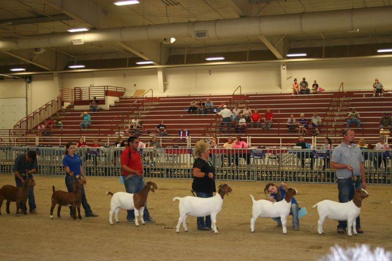 Bear Creek BC D826 4th from the right, shown by Braxton Luchini placed 9th at the ABGA National Show