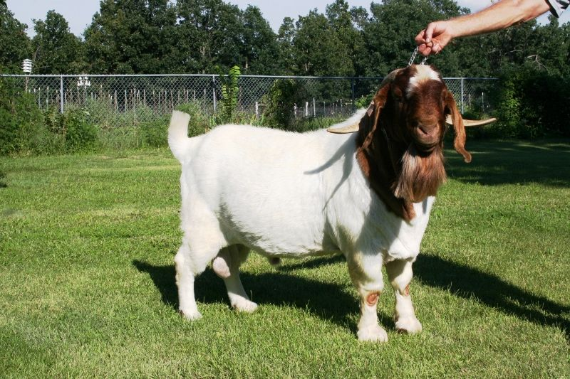 DSM Richard **Ennobled** Semen - Boer Goat Buck