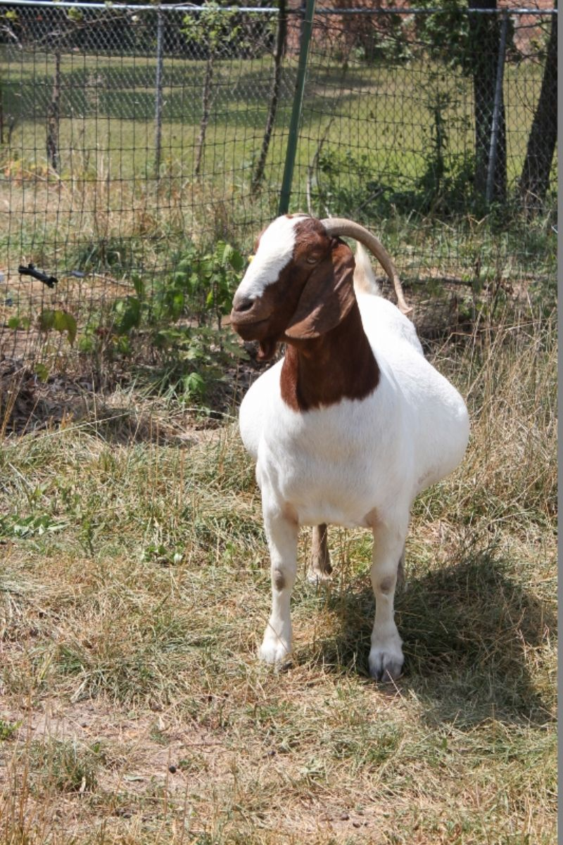 Bear Creek BC B691 Heart Breaker - Boer Goat Doe