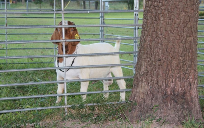 Bear Creek BC H1107 - Boer Goat Buck