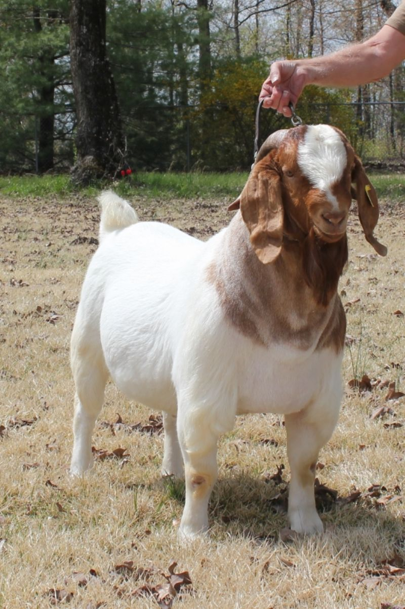 Boer Goat Bucks For Sale In Missouri From Bear Creek Boers