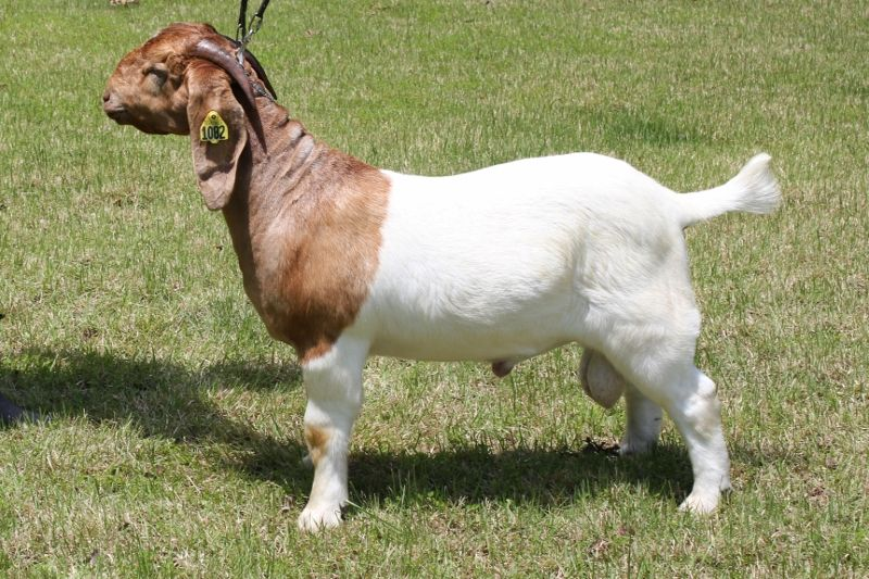 Bear Creek BC H1082 Master Justified - Boer Goat Buck