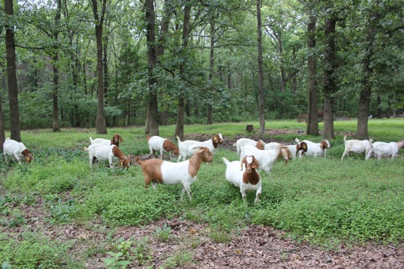 Bear Creek Boers Mature Doe's - Boer Goat Doe