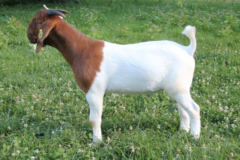 Bear Creek BC H1092 - Boer Goat Buck