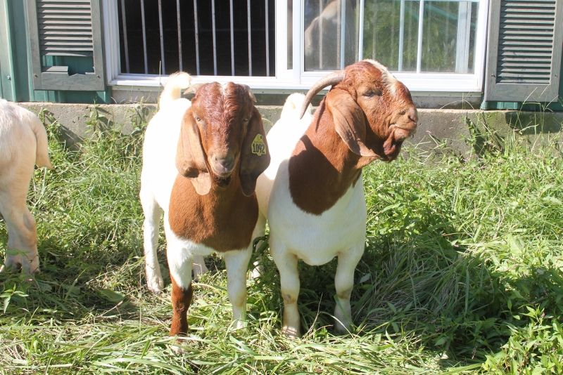 2018 Dec Buck Kids - Boer Goat Buck