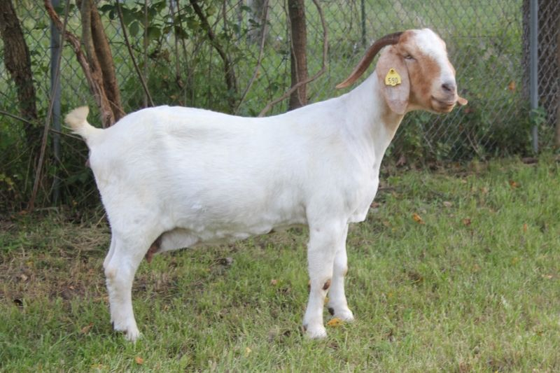 Bear Creek BC B590 Cheetah - Boer Goat Doe