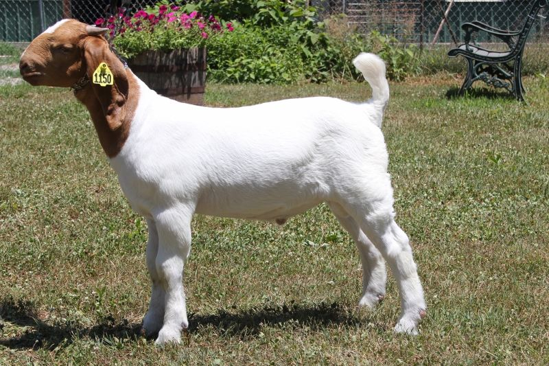 Bear Creek BC K1150 - Boer Goat Buck