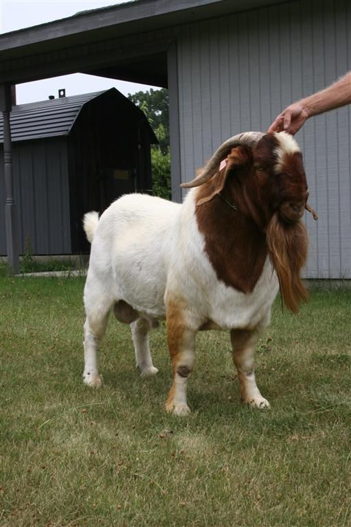 boer goat bucks at bear creek boers